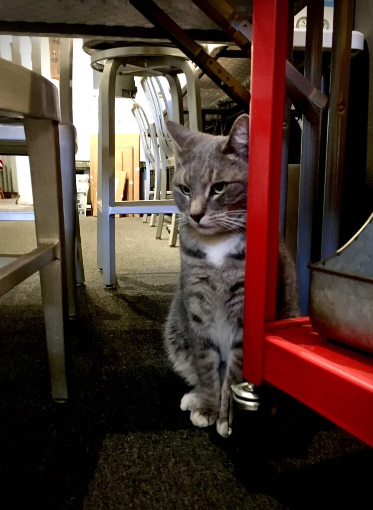 Grey tabby shop cat, Metal, peers downward next to red cart waiting to be let out of photography lab